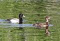 046 - LESSER SCAUP (5-14-13) pena blanca cove, pena blanca lake, scc, az -1 (8739523940).jpg