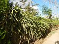 0638jfPaddy fields Pitaya Ilog-Bulo San Miguel Bulacan Farm Market Roadfvf 03.jpg