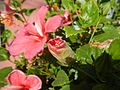 0931jfHibiscus rosa sinensis Linn White Pinkfvf 10.jpg