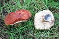 0 Bolet orangé - Leccinum aurantiacum - Havré (4).JPG