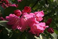 0 Rododendro - Celles (Hainaut) 3.JPG