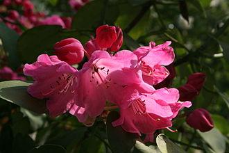 Appalachian Plateau - Rhododenron