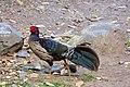 1.Kalij pheasant male.jpg