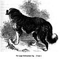 122. Larger Newfoundland Dog.JPG