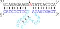 17E (Pb2+-selective) DNAzyme.png