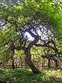 19. Le chêne fau.jpg