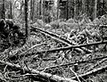 1961. Ponderosa pine thinning slash. Considerable killing by Ips oregonis occurred to leave stand. (Thinned December 1960; Ips killing summer, 1961.) Bauer's Creek, Fremont National Forest. (38675352642).jpg