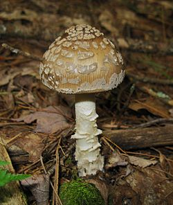 2009-10-24 Amanita ceciliae group 62030.jpg