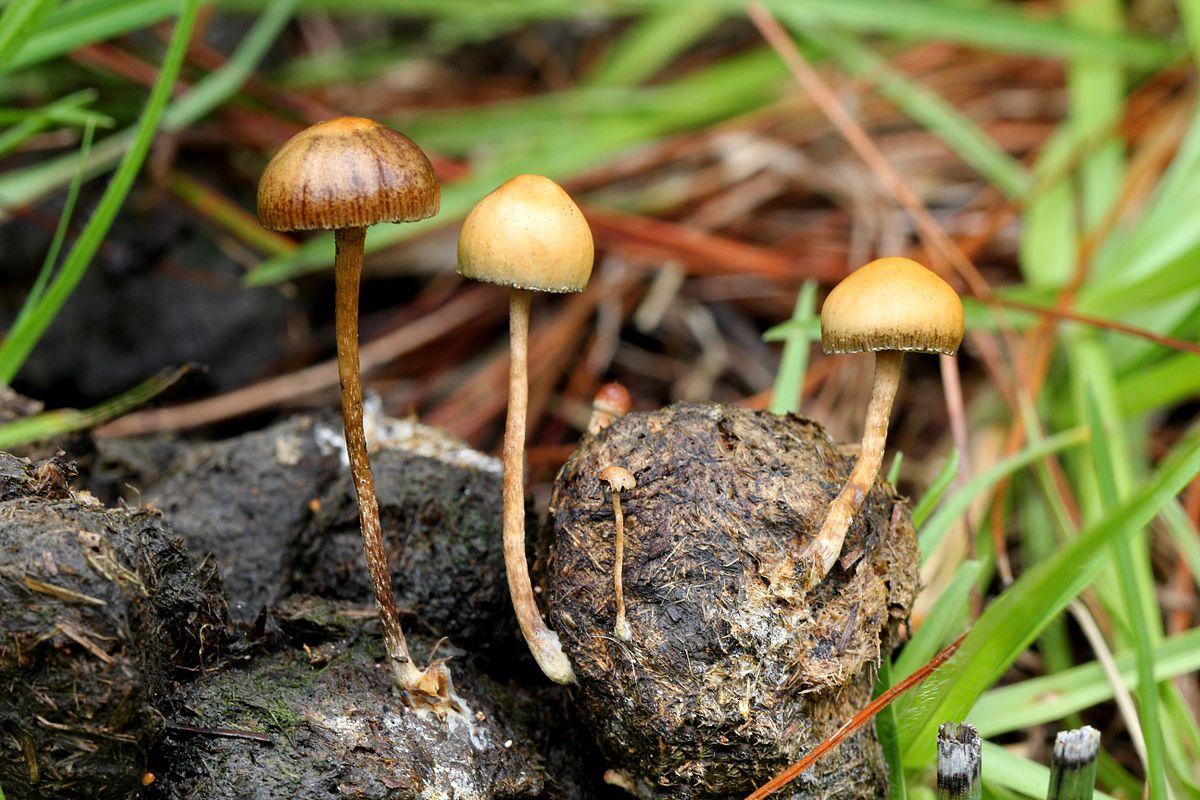 Champignon coprophile wikip dia - Les champignons de jardin sont ils comestibles ...