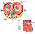 2012 Blood Flow Relaxed Ventricles.jpg