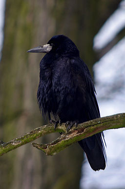 20130224 Corvus frugilegus 2575