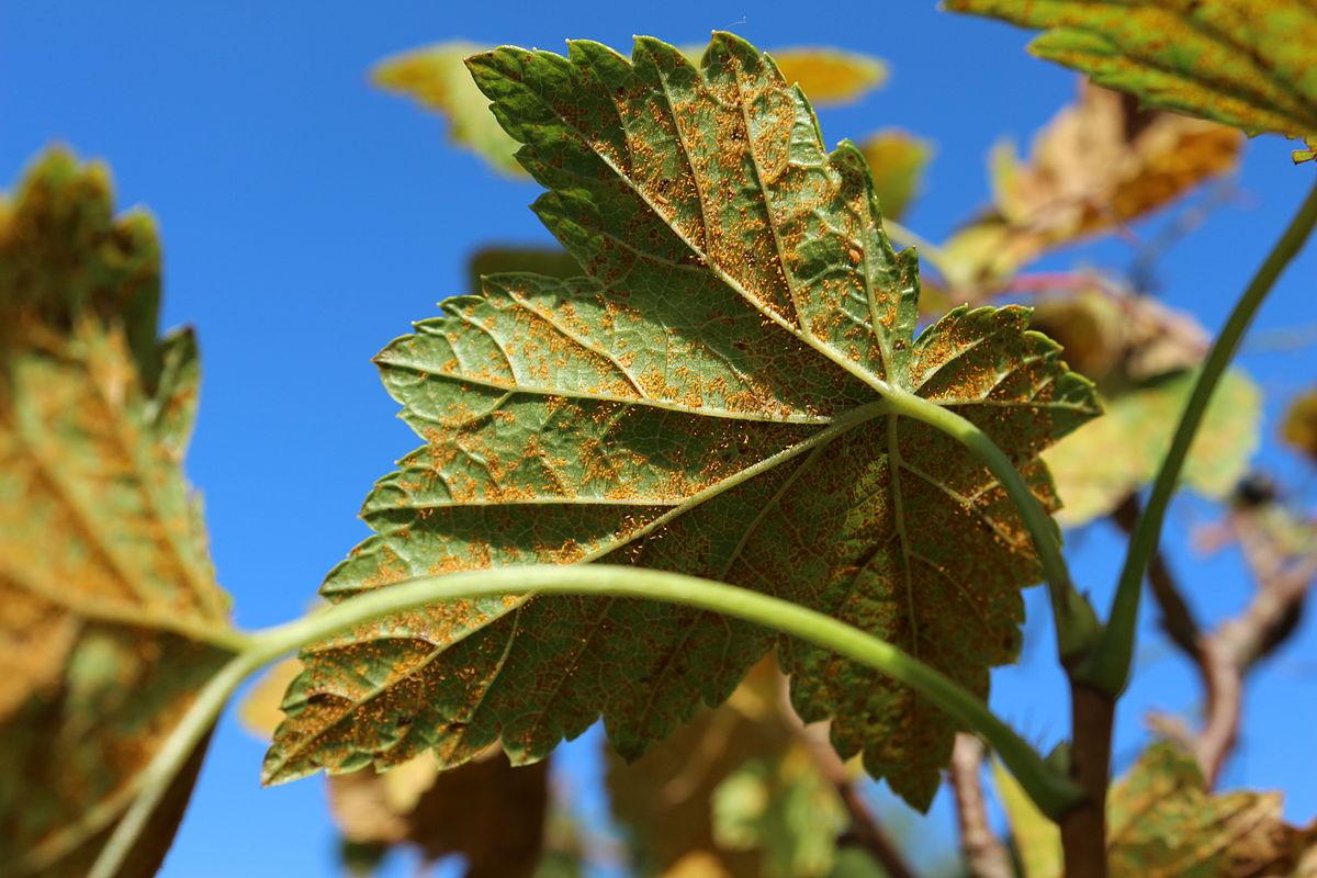Cronartium ribicola - Wikimedia Commons