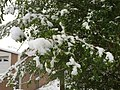 2015-05-07 07 29 12 New green leaves covered by a late spring wet snowfall on a Siberian Elm on South 7th Street in Elko, Nevada.jpg