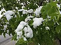 2015-05-07 07 50 18 New green leaves covered by a late spring wet snowfall on a Norway Maple on Silver Street in Elko, Nevada.jpg