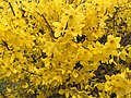 2016-03-25 12 20 59 Forsythia blossoms along Tranquility Court in the Franklin Farm section of Oak Hill, Fairfax County, Virginia.jpg