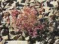 20160807Geranium robertianum2.jpg