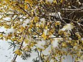2017-03-14 09 55 28 Forsythia blossoms coated in snow and ice pellets along Tranquility Court in the Franklin Farm section of Oak Hill, Fairfax County, Virginia.jpg