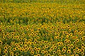 2017-07-15 Ono-himawarino-oka-park (小野市立ひまわりの丘公園) 6235☆彡☆彡.jpg