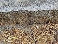2018-05-13 (202) Carabidae (Ground Beetle) at Bichlhäusl in Frankenfels, Austria.jpg