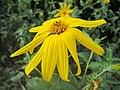 20180904Helianthus tuberosus1.jpg