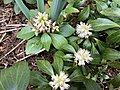 2019-03-29 15 29 04 Pachysandra flowers along Tranquility Court in the Franklin Farm section of Oak Hill, Fairfax County, Virginia.jpg