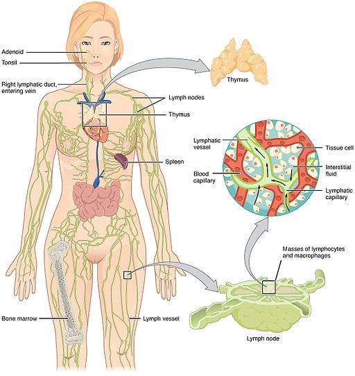 2201 Anatomy of the Lymphatic System