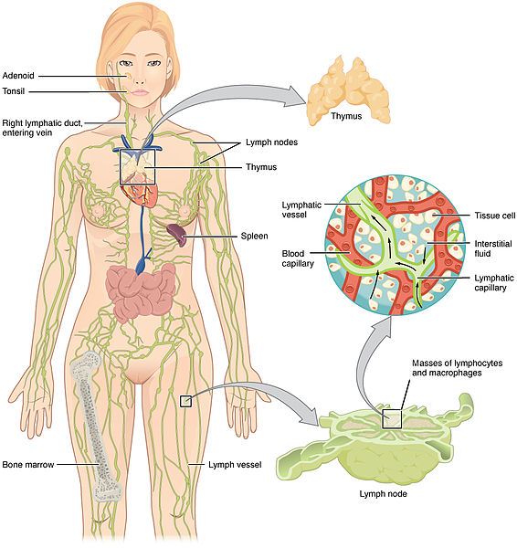 File:2201 Anatomy of the Lymphatic System.jpg