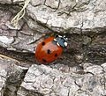 7-spot Ladybird. Coccinella septempunctata - Flickr - gailhampshire.jpg