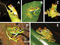 A-new-species-of-the-Boophis-rappiodes-group-(Anura-Mantellidae)-from-the-Sahamalaza-Peninsula-zookeys-435-111-g003.jpg