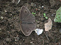 AB036 whiteline Bushbrown UP.JPG