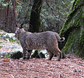 A Bobcat Hunts in Yosemite National Park (3023152568).jpg