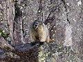 A Marmot - panoramio.jpg