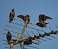 A Starlings rough and tumble (11550999483).jpg