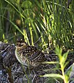 A baby ptarmigan rests on the side of the park road while its mom waits in the bushes behind, in late June, 2017. (575cffd6-66dd-4a8a-b6aa-b3fbef60bc61).JPG