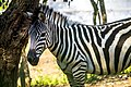 A beautiful Zebra.jpg