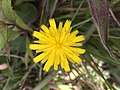 A beautiful yellow flower captured at Horton Plains National Park.jpg