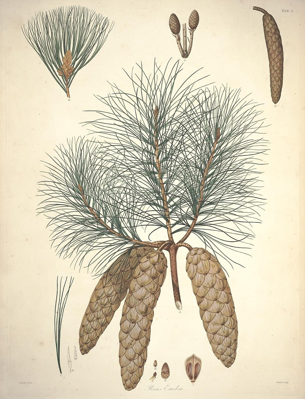 A description of the genus Pinus (Tab. 3) (7797196420)