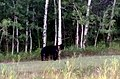 A far away & extremely zoomed in (on my phone) picture of a black bear near Grand Marais, Manitoba, Canada. (36497373520).jpg