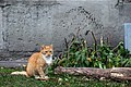 A feral cat in Strelna-3.jpg