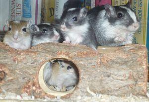 Gerbil - A mother gerbil sitting with four young gerbils