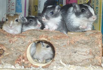 Gerbil - A mother gerbil sitting with four young gerbils