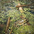 A leopard frog in the wetlands.jpg
