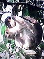 A monkey in a tree.jpg