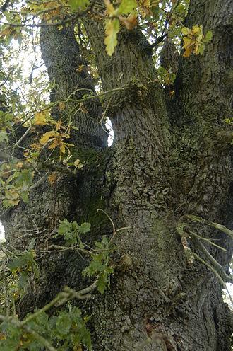 Pollarding - A pollard oak marking part of the ancient parish boundary of Wash Common, part of Newbury, and Sandleford, UK.