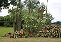 A rose bush with cut logs in Great Waltham, Essex, England 01.JPG