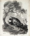 A wolverine (glutton) is sitting on a dead tree branch in th Wellcome V0020736.jpg