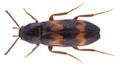 Abdera biflexuosa (Curtis, 1829).png