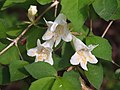 Abelia spathulata ツクバネウツギ 衝羽根空木 やしろの森公園DSCF8779.JPG