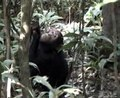 File:Able-Bodied-Wild-Chimpanzees-Imitate-a-Motor-Procedure-Used-by-a-Disabled-Individual-to-Overcome-pone.0011959.s009.ogv