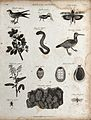 Above, a bird, a cricket, an insect, a branch and fruit of t Wellcome V0020669ER.jpg